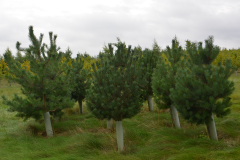 Tree growth boosted with tree protection